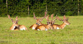 Red deer lying down — Foto Stock