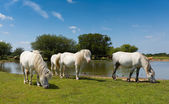 White ponies by lake on a beautiful sunny summer day — Stock Photo