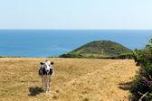 Cornish cow Black Head headland St Austell Bay between Porthpean and Pentewan near St Austell Cornwall England — Stock Photo