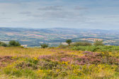 View from on the Quantock Hills Somerset England with purple heather — Stock Photo