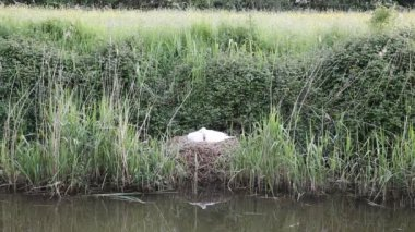 Mother swan on nest by reeds on a river bank only days from giving birth to cygnets — Stock Video