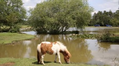 New Forest pony Janes Moor lake New Forest Hampshire England UK popular tourist location — Stock Video