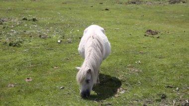 Pequeño poni comiendo hierba — Vídeo de stock