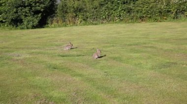 Wild rabbits in a field Lake District Cumbria England example of the local wildlife — Stock video