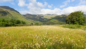 Daisy field with mountains blue sky and clouds scenic Langdale Valley Lake District Cumbria near Old Dungeon Ghyll England UK in summer — Stock Photo