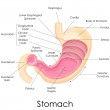 Human Stomach Anatomy — Stock Vector #41264433