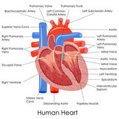 Anatomie du coeur humain — Vecteur