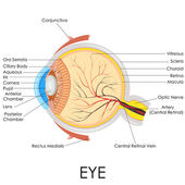 Human Eye Anatomy — Stock Vector