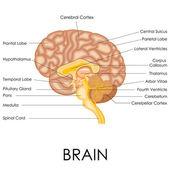 Human Brain Anatomy — Stock Vector