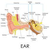 Anatomia orecchio umano — Vettoriale Stock
