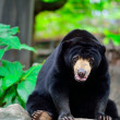 Black bear — Stock Photo #33617917