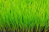 Green grass rice — Stock Photo