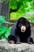 Black bear — Stock fotografie