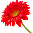 Flower Background. Red Gerbera Flower . Flower design — Stock Photo