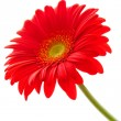 Stock Photo: Flower Background. Red Gerbera Flower . Flower design