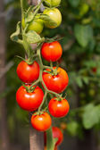 Growing garden tomatoes — Stock Photo
