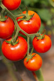 Ripe garden tomatoes closeup — Stock Photo