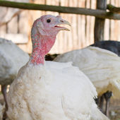 Portrait of a turkey — Stock Photo