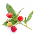 Raspberry twig on white — Stock Photo #34668893