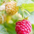 Raspberries on a twig — Stock Photo