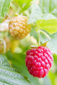 Raspberries on a twig — Stock Photo