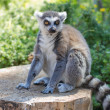 Ring tailed lemur (lemur catta) — Stock Photo #35198697