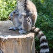 Ring tailed lemur (lemur catta) — Stock Photo #35198721