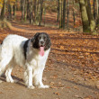 Landseer purebred dog — Stock Photo #35198737