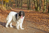 Landseer purebred dog — Stock Photo