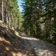 Trail in pine forest — Stock Photo