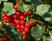 Red currant fruit — Stock Photo
