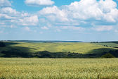 Wheat filed scenery — Stock Photo