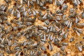 Honeycomb and bees — Stock Photo