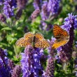 Blue spring flowers and butterfly family — Stock Photo