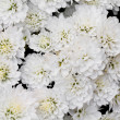 Stock Photo: White Chrysanthemum Flowers in garden