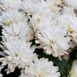 White Chrysanthemum Flowers in garden — Stock Photo