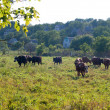 Cows in the field — Stock Photo #12337958
