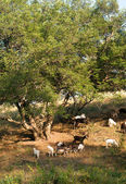 Goats near a tree in summer — Stock Photo