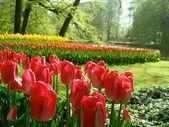 Garden with tulips — Stock Photo