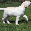 Labrador puppy playing with a ball — Stock Photo #10039935