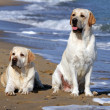 Two yellow labradors looking at the sea - Stock Photo