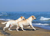 Two yellow labradors running to the sea — Stock Photo