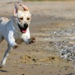 Stock Photo: Yellow labrador running to sea