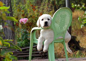 żółty szczeniak labrador w ogrodzie — Zdjęcie stockowe