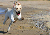 Yellow labrador running to the sea — Stock Photo