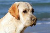 Yellow labrador looking at the sea — Stock Photo