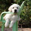 Yellow labrador puppy in the garden - Stock Photo