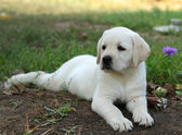 Yellow labrador puppy laying in the garden — Stock Photo