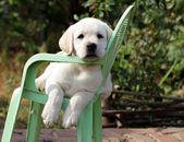 Yellow labrador puppy in the garden — Stock Photo