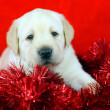 Stock Photo: Gift yellow labrador puppy with New Year (Christmas) toys